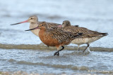 Godwit, Bar-tailed (male) @ Mersing