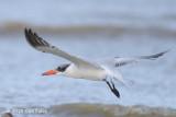 Tern, Caspian @ Mersing