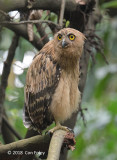 Owl, Buffy Fish (juvenile) @ SBWR
