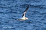 Albatross, Short-tailed (adult) @ Izu islands