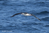 Albatross, Laysan @ Izu islands