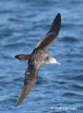 Shearwater, Streaked @ Izu islands