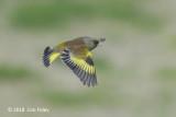 Greenfinch, Oriental (male) @ Hachijo Botanical Garden