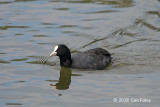 Coot, Eurasian @ Imperial Palace