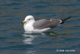 Gull, Black-tailed (adult summer) @ Hachijo-jima