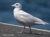 Gull, Glaucous (first winter white) @ Hachijo-jima