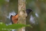 Shama, Rufous-tailed (male)