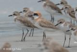 Plover, Greater Sand @ Mersing