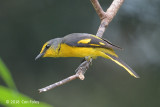 Minivet, Scarlet (female)