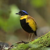 Pitta, Gurney's (male)