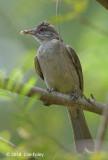 Bulbul, Ayeyarwady @ Hlawga Wildlife Park