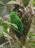 Broadbill, Whitehead's