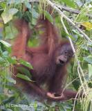Bornean Orangutan (juvenile) @ Gomangtong Caves
