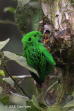 Broadbill, Whitehead's (male) @ Kinabalu