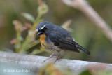 Flycatcher, Snowy-browed (male) @ Kinabalu