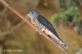 Cuckoo, Sunda (female grey morph) @ Kinabalu
