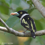 Broadbill, Black-and-yellow