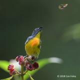 Flowerpecker, Yellow-rumped (male) @ RDC