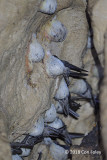Swiftlet, Edible-nest @ Gomantang Caves