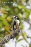 Falconet, White-fronted