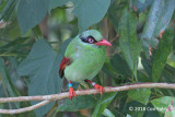Magpie, Bornean Green @ Kinabalu