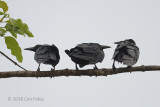 Crow, Slender-billed @ Kinabatangan