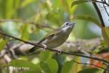 Shrike-babbler, White-browed (female) @ Kinabalu