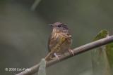 Flycatcher, Snowy-browed (juvenile) @ Kinabalu