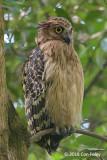 Owl, Buffy Fish (male) @ Botanic Gardens