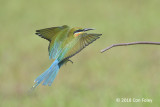 Bee-eater, Blue-tailed @ Seletar