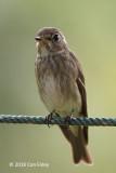 Flycatcher, Dark-sided @ SBG