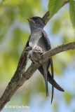 Treeswift, Grey-rumped (female+chick) @ AMK