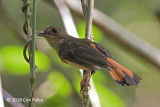 Shama, Rufous-tailed (female)