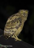 Owl, Buffy Fish