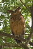 Owl, Buffy Fish (male) @ Pasir Ris Park