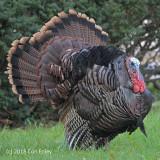 Turkey, Wild @ Mt. Auburn Cemetery