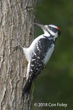 Woodpecker, Hairy (male) @ Gorham, NH