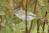 Vireo, Red-eyed (juv) @ Boothbay Harbor