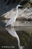 Heron, Great Blue @ Stowe, VT