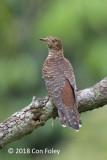 Cuckoo, Himalayan (female hepatic morph) @ Bidadari