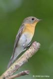 Flycatcher, Mugimaki (female) @ Telok Blangah Hill Park