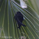 Swift, Asian Palm