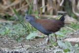 Crake, Black-tailed