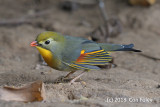 Leiothrix, Red-billed
