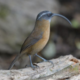 Babbler, Slender-billed Scimitar
