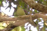 Pigeon, Wedge-tailed Green (male) @ Jln Richmond