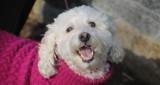 At the Cold Spring Harbor holiday dog parade.