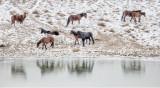 Wild Horses of Nevada