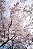 Branch brook park cherry blossom 2017