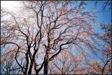 Branch brook park cherry blossom 2018